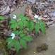 Fiori primaverili del sottobosco: le anemoni.