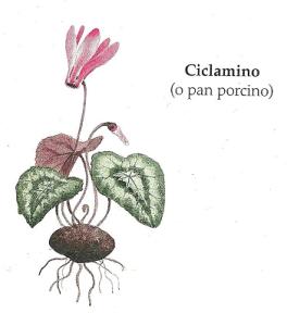 ciclamino
